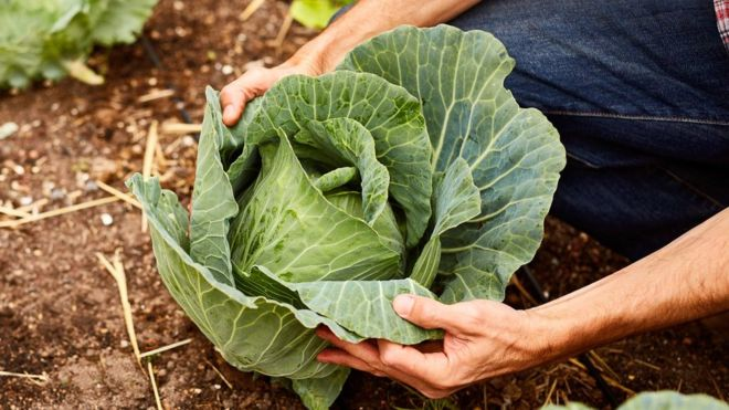 Humble Cabbage Fights Cancer
